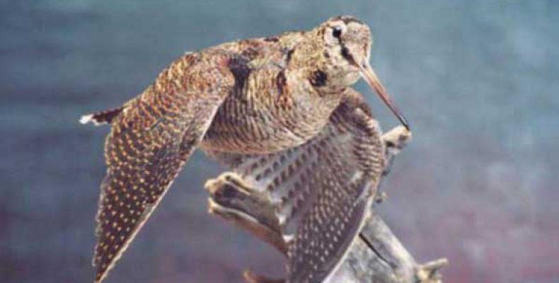 Вальдшнеп, охота на весенней тяге.