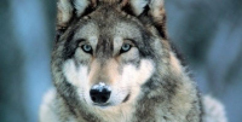 В республике Коми волка приравняли к пушнине