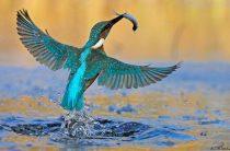Птичка-водолаз